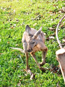 Free Young Kangaroo Stock Photo - 28760740