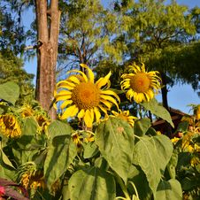 Free Beautiful Sunflowers At Field Royalty Free Stock Photos - 28761138