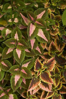 Free Coleus In A Home Garden Stock Photo - 28762880