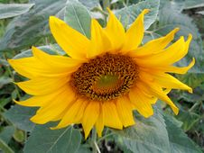 Free Sunflower Stock Photos - 28765643