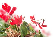 Free Red Cyclamen Flower Royalty Free Stock Images - 28766029