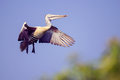 Free Pelican Coming In To Land Royalty Free Stock Photos - 28770878