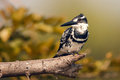 Free Pied Kingfisher Stock Photography - 28770952