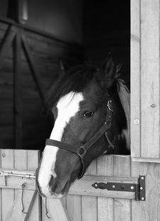 Free Thoroughbred In A Livery Stable Stock Images - 28770134