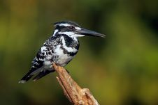 Free Pied Kingfisher Stock Photo - 28771010