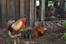 Free Pair Of Chickens Royalty Free Stock Photos - 28778968