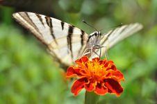 Free Butterfly Podalirius Stock Image - 28780521