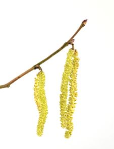 Free Hazel Catkins Royalty Free Stock Photography - 28783647