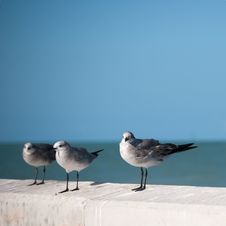 Three Seagulls Royalty Free Stock Image