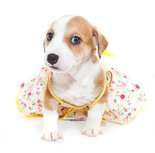 Free Jack Russell Terrier In A Dress Royalty Free Stock Photo - 28786535