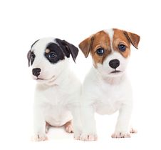 Free Jack Russell Terrier Puppies Royalty Free Stock Photos - 28786558