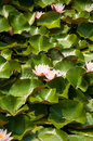 Free Beautiful Water Lily In A Park Stock Image - 28790431