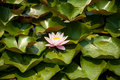 Free Water Lily On Green Leaf Background Stock Photos - 28791273