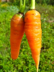 Free A Pair Of Pulled Out Carrots Stock Photos - 28793863