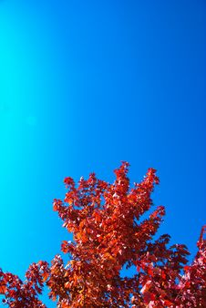 Red Leaf Maple Tree With Blue Sky Stock Photo