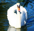 Free Swan Royalty Free Stock Photo - 2889585
