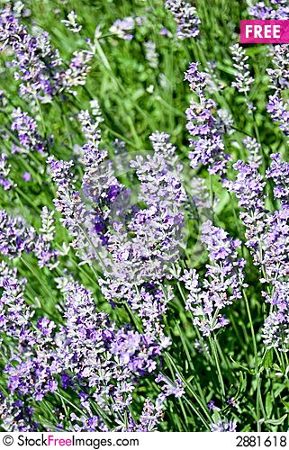 Free Lavender Royalty Free Stock Photos - 2881618