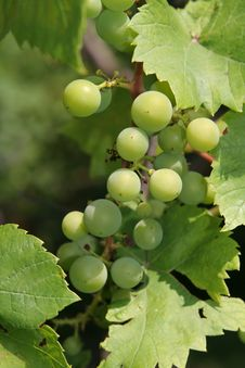 Free Green Grape Royalty Free Stock Photography - 2882047