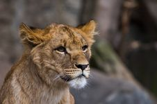 Free Close-up Of A Lion Royalty Free Stock Photography - 2882207