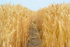 Free Wheat Stalk Royalty Free Stock Photo - 2884285