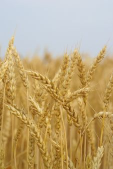 Wheat Stalk Stock Images