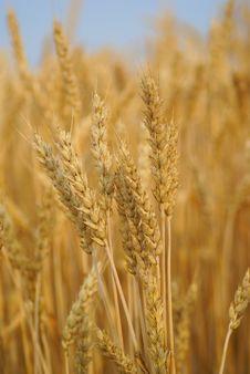 Wheat Stalk Stock Photo