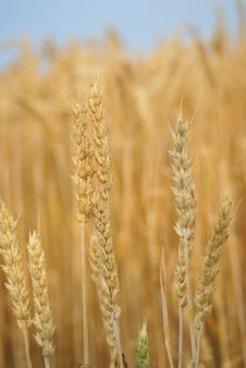 Wheat Stalk Royalty Free Stock Photo