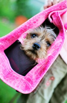 Free Yorkie In A Pink Purse Stock Photography - 2888352