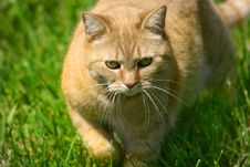 Free Cat On The Prowl Royalty Free Stock Images - 2888639