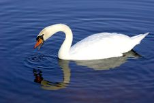 Free White Swan In Blue Water Stock Photos - 2888883