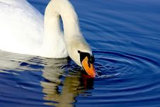 Free Swan Drinking Water Stock Image - 2888931
