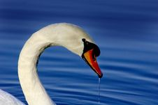 Free White Swan Closeup Shot Stock Photo - 2888950