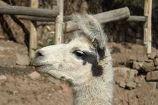 Free Llama Face Royalty Free Stock Image - 2889306