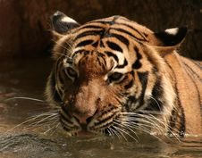 Free Thirsty Tiger Royalty Free Stock Photography - 2889707