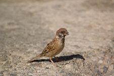 Free Brown Bird On The Ground Stock Image - 28804091