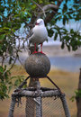 Free Seagul On A Lobster Pot At Kekerengu Beach Royalty Free Stock Images - 28816269