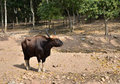 Free Gaur, Jaint Black Bull In Rainforest Stock Photos - 28818333
