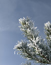 Free Snow Covered Pine Branch Stock Photo - 28819880