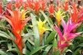 Free Beautiful Guzmania Magnifica Flower Stock Images - 28819894