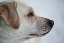 Free Winter Portrait Of Labrador Retriever Royalty Free Stock Photo - 28811035