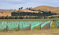 Free Young Vineyard At Waipara, North Canterbury Stock Photos - 28816493