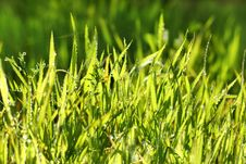 Fresh Green Grass In Drops Of Dew Royalty Free Stock Photo