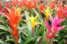 Free Beautiful Guzmania Magnifica Flower Stock Images - 28819894