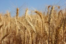 Free Golden Ears Of Wheat Stock Photography - 28819902