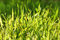 Free Fresh Green Grass In Drops Of Dew Royalty Free Stock Photo - 28819855