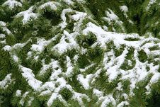 Free Spruce In The Snow Stock Image - 28820561