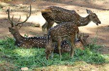 Free Deers Grazing Stock Photo - 28820650