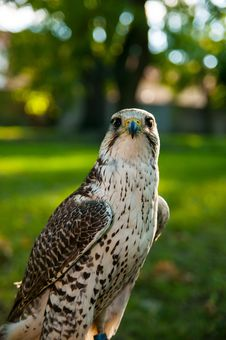 Free Kestrel Stock Photo - 28826340