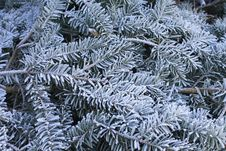 Free Frosty Winter Greens Royalty Free Stock Photography - 28826627