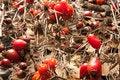 Free Autumn Background.rose Hips.viburnum Royalty Free Stock Photography - 28832077